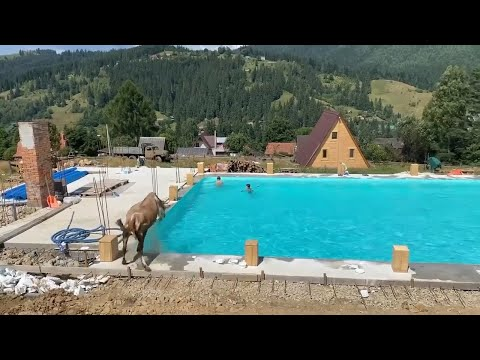 У Карпатах корова стрибнула у басейн з людьми (відео)