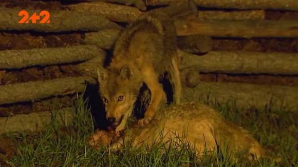 """""""Серця в убитих пусті – в них немає крові"""": на Тернопільщині за ніч невідома істота убила 8 тварин (ВІДЕО)"""