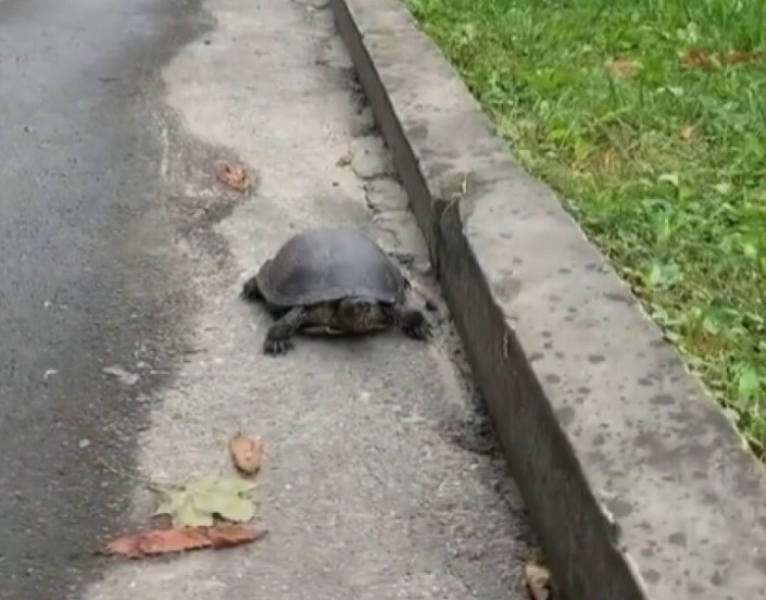 У Тернополі в парку гуляла черепаха (ФОТО)