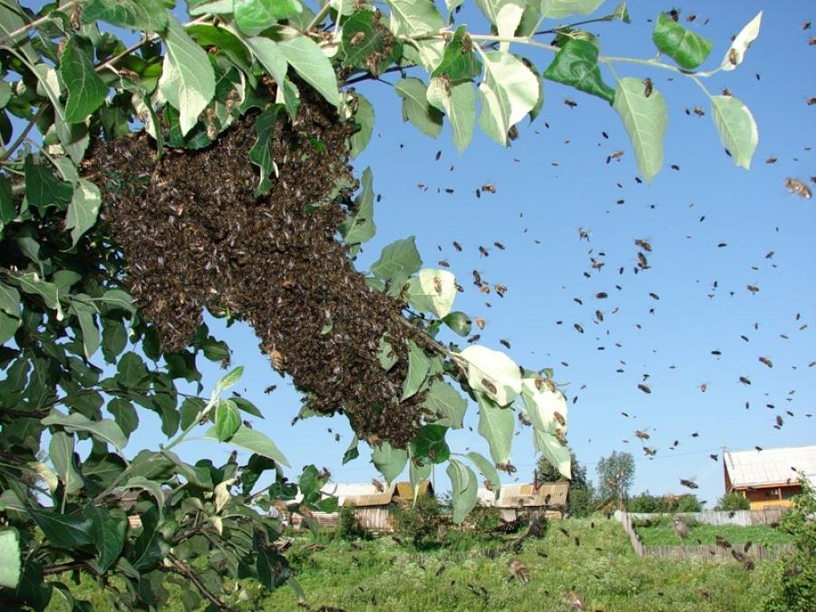У селищі неподалік Тернополя на чоловіка напав… рій бджіл