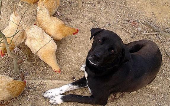 На Тернопільщині сусідський собака задушив 11 курей. Як покарали його господаря?