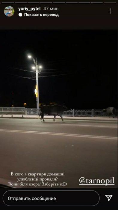 """""""Знайомство з ними може закінчитись трагічно"""": вулицями Тернополя розгулювали величезні буйволи (ФОТО, ВІДЕО)"""